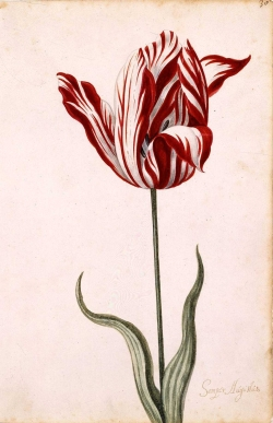 Tulp Semper Augustus; Bron: Wikimedia Commons, Public Domain
